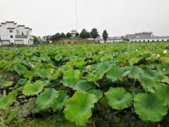 安徽农业大学赴铜陵暑期调研:建设美丽